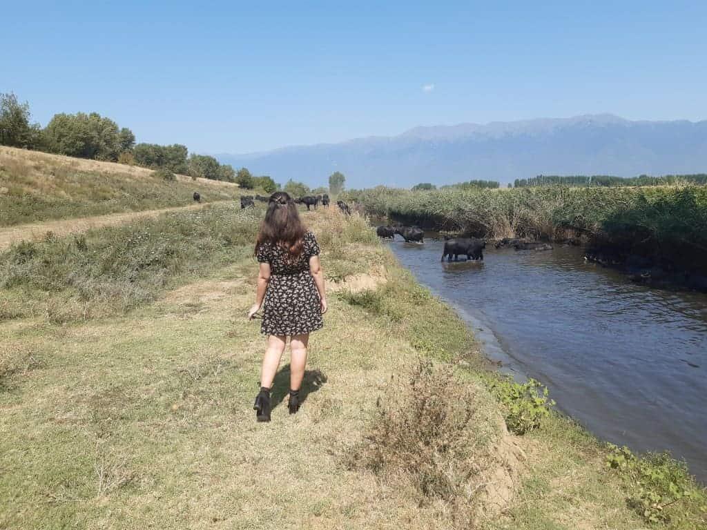 Water buffalo farms in Serres