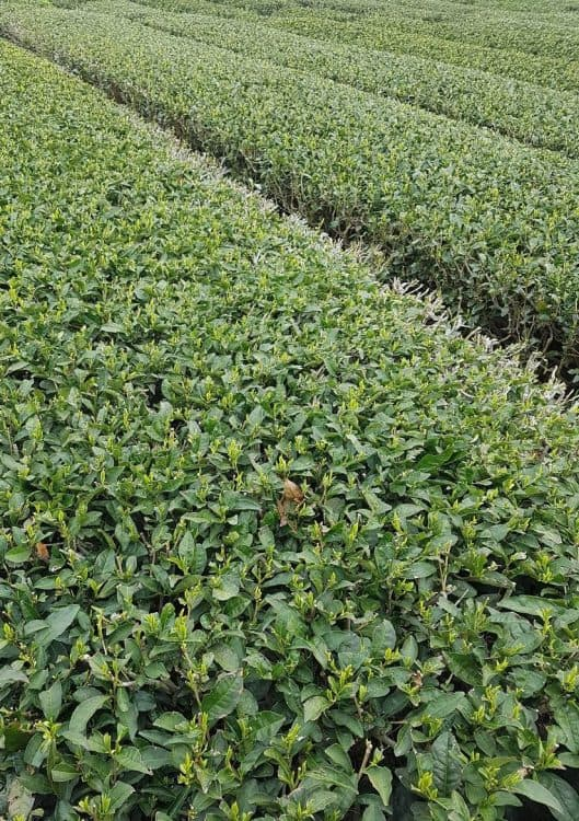 The Green Tea Fields at O'Sulloc