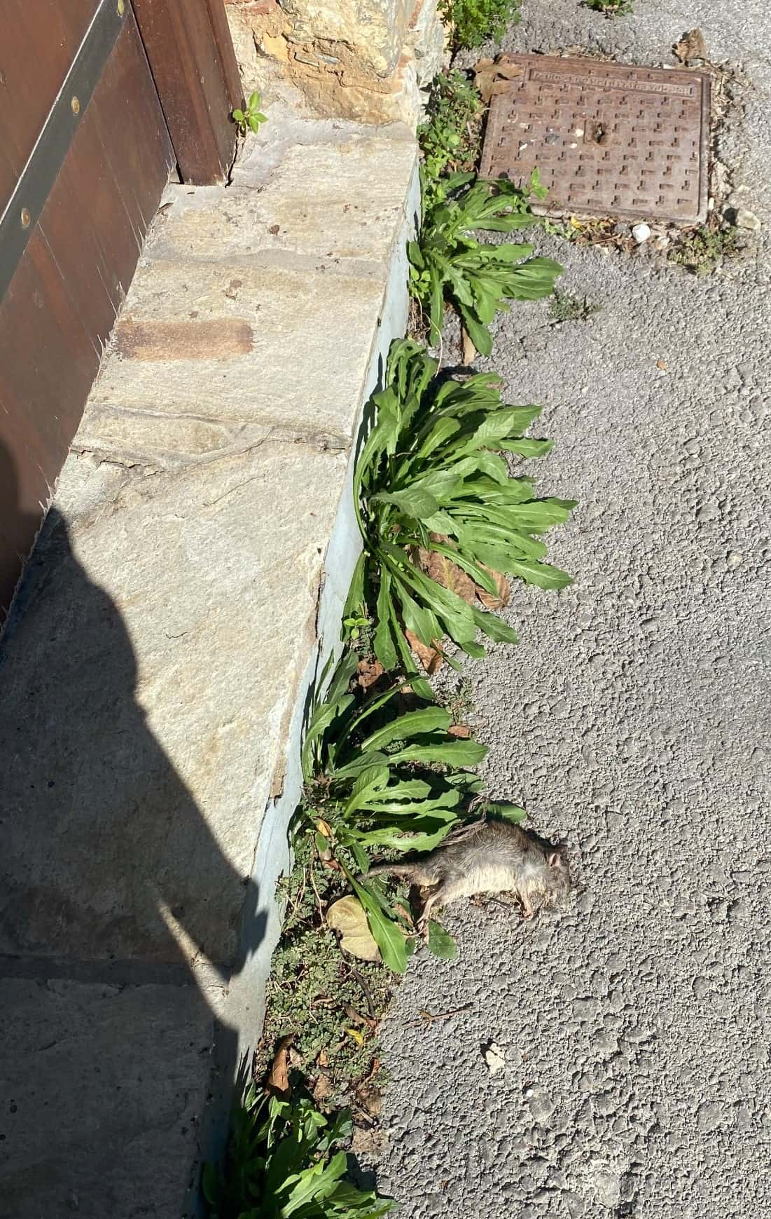 Dead Rat on the doorstep of Perivoli Holiday Studios left to rot